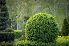 Wild Privet Ligustrum hedge nature texture A sample of topiary art stock photography