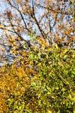 Wild Privet shrub Royalty Free Stock Image