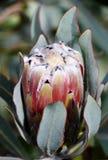 Wild Protea Flower stock image