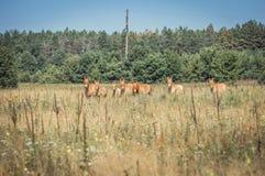 Wild Przewalski horses Stock Photography