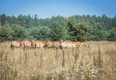 Wild Przewalski horses. In the Chernobyl exclusion zone royalty free stock image