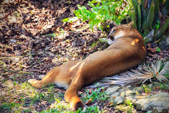 wild puma arkivfoton