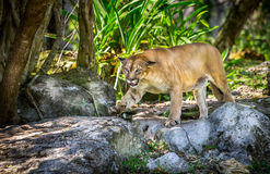 Wild Puma. Cat searching for a prey Stock Photos