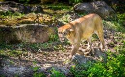 Wild Puma Stock Photo