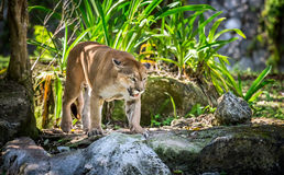 Wild Puma Stock Photos