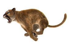 Wild Puma. 3D digital render of a jumping puma, also known as a cougar, mountain lion, or catamount, isolated on white background Stock Images