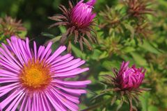 Aster with Buds Royalty Free Stock Photography