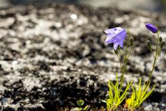 Wild purple bell flowers in the tundra in the spring royalty free stock photos