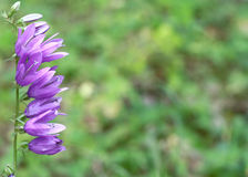 Wild purple bells Stock Photography