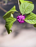 Wild purple berries. In the sun Stock Photos