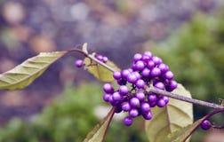 Wild purple berries Royalty Free Stock Photo
