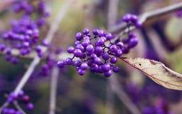 Wild purple berries Royalty Free Stock Image