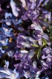 Wild purple blue corydalis in spring royalty free stock image