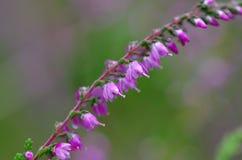 Wild Purple Common Heather, Calluna vulgaris, blossom close-up, Stock Image
