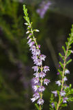 Wild Purple Common Heather, Calluna vulgaris, blossom close-up, selective focus, shallow DOF Royalty Free Stock Images