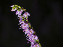 Wild Purple Common Heather, Calluna vulgaris, blossom on dark bokeh background close-up, selective focus, shallow DOF Stock Photos