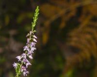 Wild Purple Common Heather, Calluna vulgaris, blossom on dark bokeh background close-up, selective focus, shallow DOF Stock Photography