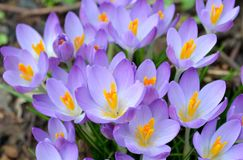 Wild purple crocus. And grass Royalty Free Stock Photography