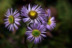 Wild Purple Daisies. Close up of wild purple & yellow daisies Stock Photography