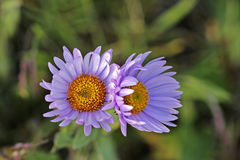 Wild purple Daisy Royalty Free Stock Photo