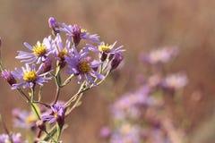 Wild purple echinacea flowers in autumn stock photos