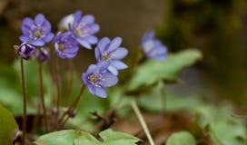 Wild purple flower Royalty Free Stock Photo