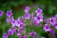 Wild purple flowers on green Royalty Free Stock Images