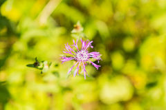 Wild purple flower. This photo represents the beauty of the wild fllora from the Bazos dendrological Park Royalty Free Stock Image