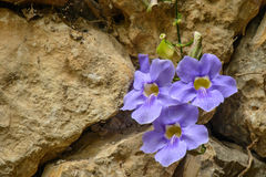 Wild purple flower between rocks stock photos