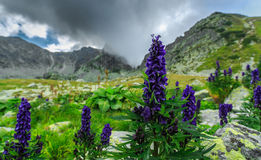 Wild purple flowers in the Alps and storm clouds Royalty Free Stock Photography