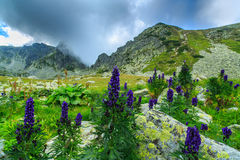Wild purple flowers in the Alps and storm clouds Stock Photo