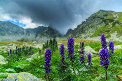 Wild purple flowers in the Alps and storm clouds Royalty Free Stock Image