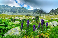 Wild purple flowers in the Alps and storm clouds Stock Images