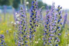 Wild purple flowers Royalty Free Stock Photo