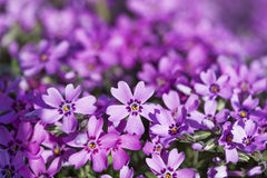 Wild purple flowers Stock Image