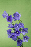 Wild Purple Flowers on Green Background Royalty Free Stock Photo