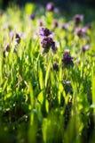 Wild purple flowers Stock Photos