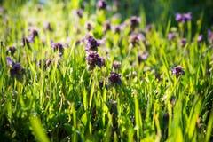 Wild purple flowers Royalty Free Stock Photography