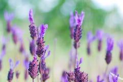 Wild purple flowers. Macro Stock Photos