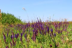Wild purple flowers Royalty Free Stock Image