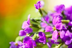 Wild purple flowers. In nature Stock Photo