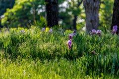 Wild Purple Flowers in Oklahoma Royalty Free Stock Photo