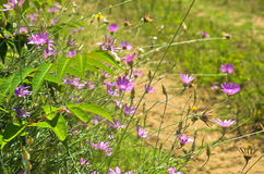 Wild purple flowers on sandy terrain near Danube river Stock Photos