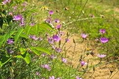 Wild purple flowers on sandy terrain near Danube river Stock Photos