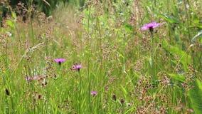 Wild purple flowers. Wild purple Horsemint flowers between blooming reed moving in the wind stock footage