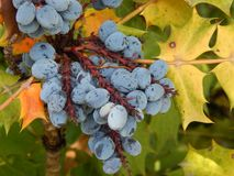 Wild purple grapes. With yellow, orange and green leaves stock photo