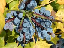 Wild purple grapes. With yellow and green leaves Stock Photos