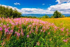 Wild purple herbal in mountains. Lovely nature landscape Royalty Free Stock Photos