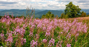 Wild purple herbal in mountains. Lovely nature landscape royalty free stock photo