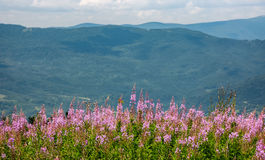 Wild purple herbal in mountains. Lovely nature landscape stock images